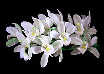Cymbidium Olymilum 'White Elf'. A hybrid orchid (color)