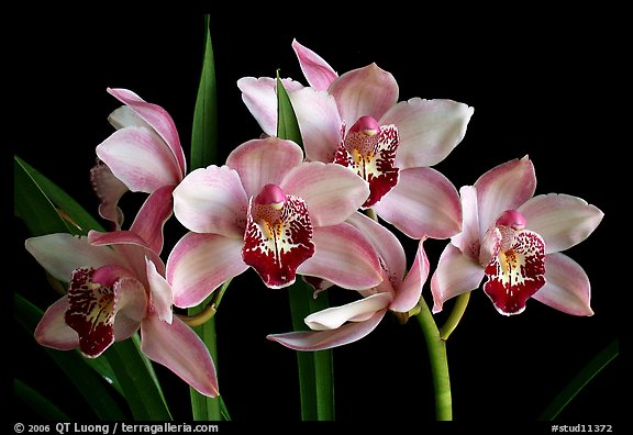Cymbidium Summer Love 'Dwaft Pink'. A hybrid orchid (color)