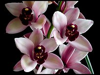 Cymbidium Yai 'Sweet Plum'. A hybrid orchid ( color)
