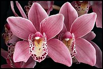 Cymbidium Alison Shaw 'Christmas Rose'. A hybrid orchid ( color)