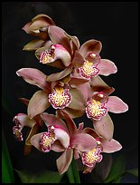 Cymbidium Big Deal 'Debbie'. A hybrid orchid ( color)