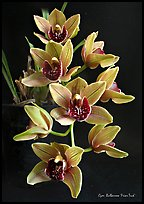 Cymbidium Bulbarrow 'Friar Tuck'. A hybrid orchid ( color)