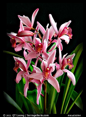 Cymbidium Cherry Blossom 'Profusion'. A hybrid orchid (color)