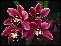 Cymbidium Cherry Cola 'Geyserland'. A hybrid orchid ( color)