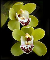 Cymbidium Dame Catherine 'Spring Day' Flower. A hybrid orchid ( color)