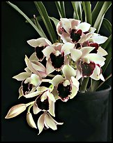 Cymbidium Devon Gala 'New Horizon'. A hybrid orchid ( color)