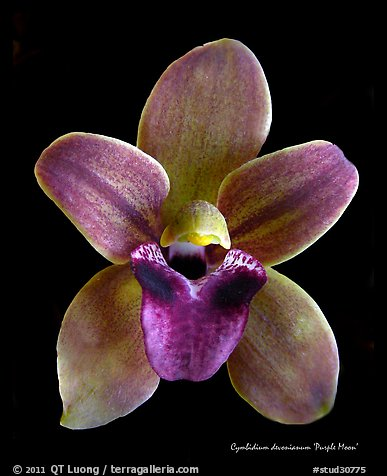 Cymbidium devonianum Flower.  A species orchid. A hybrid orchid (color)