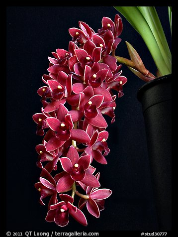 Cymbidium Dorothy Stockstill 'Forgotten Fruit'. A hybrid orchid (color)