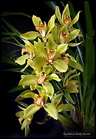 Cymbidium Early Harvest. A hybrid orchid ( color)