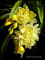 Cymbidium Enzan Liberty 'Moon Story'. A hybrid orchid ( color)