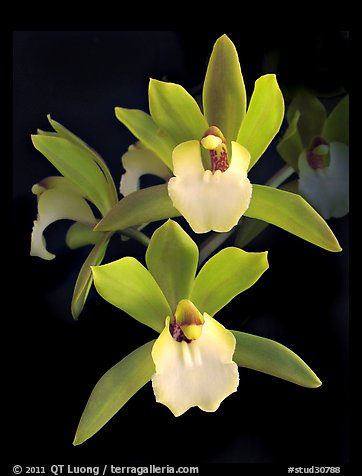 Cymbidium Hold That Tiger. A hybrid orchid (color)