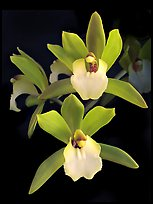 Cymbidium Hold That Tiger. A hybrid orchid ( color)