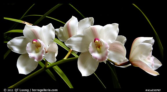 Cymbidium Lionello 'Coldsprings'. A hybrid orchid (color)