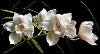 Cymbidium Lionello 'Coldsprings'. A hybrid orchid ( color)