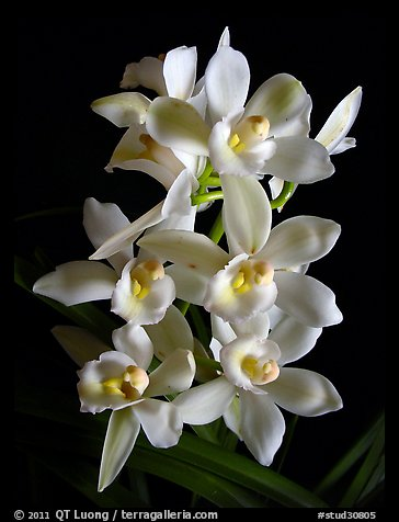 Cymbidium Melody Heart 'Snow Ripples'. A hybrid orchid (color)