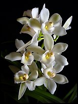 Cymbidium Melody Heart 'Snow Ripples'. A hybrid orchid ( color)