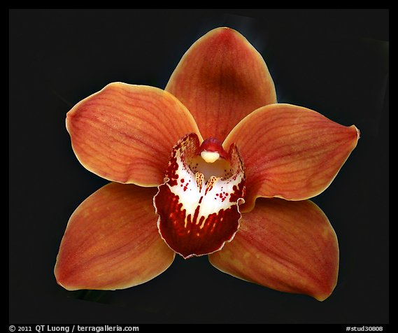 Cymbidium Mighty Sunset 'Annabelle' Flower. A hybrid orchid (color)