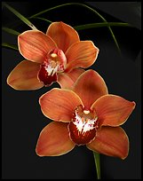Cymbidium Mighty Sunset 'Annabelle'. A hybrid orchid ( color)