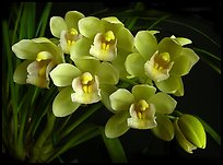 Cymbidium Mini Sarah 'The Queen'. A hybrid orchid ( color)