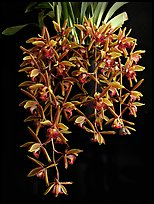 Cymbidium Miss Muffet. A hybrid orchid ( color)