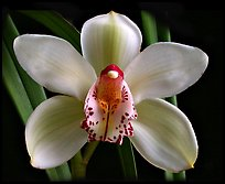 Cymbidium Peter Dawson 'Granadier'. A hybrid orchid ( color)