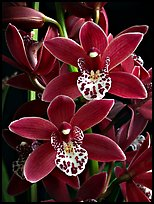 Cymbidium Pipeta 'Royal Gem' Flower. A hybrid orchid ( color)