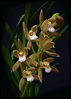Cymbidium pumilum semi album.  A species orchid.. A hybrid orchid (color)
