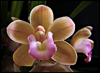 Cymbidium Sarah Jean 'Trish' Flower. A hybrid orchid ( color)