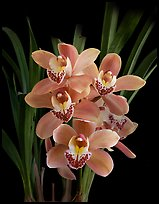 Cymbidium Scott's Sunrise. A hybrid orchid ( color)