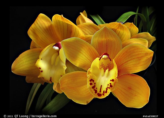 Cymbidium Shifting Sands 'Yellow Bird'. A hybrid orchid (color)