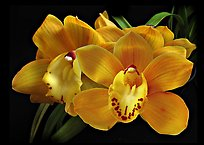 Cymbidium Shifting Sands 'Yellow Bird'. A hybrid orchid ( color)
