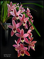 Cymbidium Squirt 'Mem. Esther Loo'. A hybrid orchid ( color)