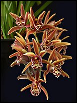 Cymbidium Tea Time 'Somersby Falls'. A hybrid orchid ( color)