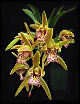 Cymbidium Tiger Moth '!'. A hybrid orchid ( color)