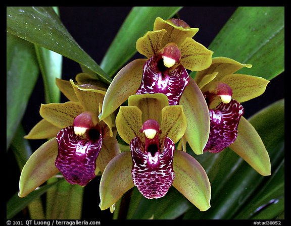 Picture Photo Cymbidium Tiny Tiger A Hybrid Orchid