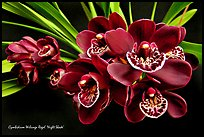 Cymbidium Willunga Regal 'Night Shade'. A hybrid orchid ( color)