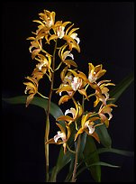 Cymbidium Wood Nymph. A hybrid orchid ( color)
