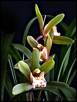 Cymbidium Zales-goeringii 'Meadowlands'. A hybrid orchid (color)
