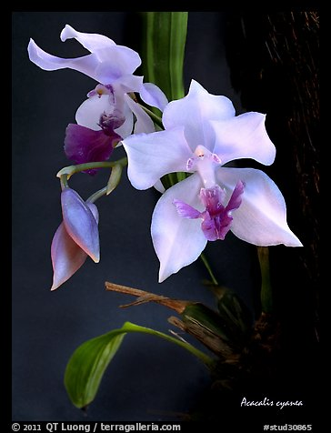 Acacallis cyanea. A species orchid (color)