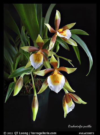Cischweinfia pusilla-p. A species orchid (color)