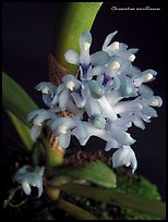 Cleisocentron merrillianum. A species orchid ( color)