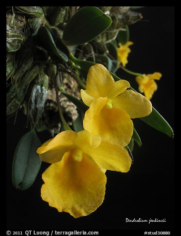Dendrobium jenkinsii. A species orchid (color)