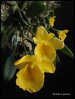 Dendrobium jenkinsii. A species orchid ( color)
