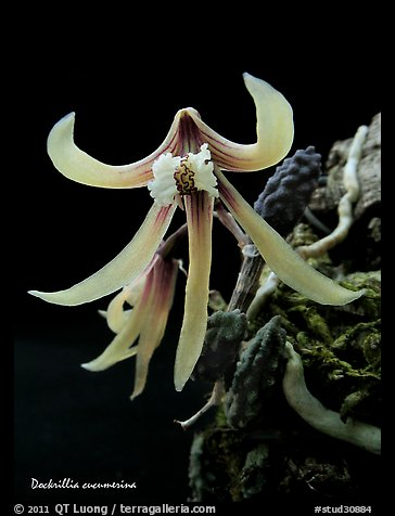 Dockrillia cucumerina. A species orchid (color)