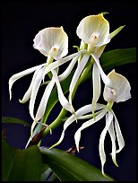 Encyclia cochliata v alba. A species orchid (color)