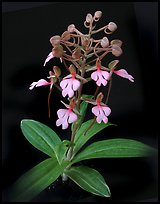 Habenaria rhodochiela. A species orchid (color)