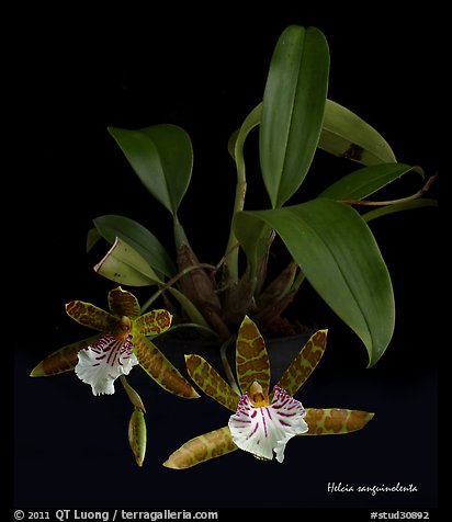 Helcia sanguinolenta. A species orchid (color)