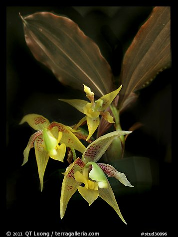 Kegeliella astropillosa. A species orchid (color)