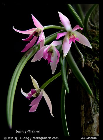 Leptotes pohli-tinocoi. A species orchid (color)