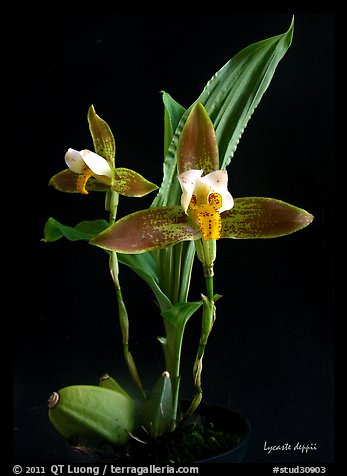 Lycaste debbie. A species orchid (color)